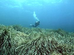 Oceanic Posidonia